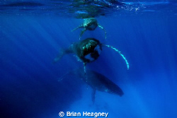 Magic number - A mother Humpback, her new born calf and a... by Brian Heagney 
